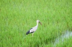 Bird in rice filed Royalty Free Stock Photos