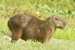 Bird riding on Capybara. Capybara, scientifically named Hydrochoerus hydrochaeris.This species occurs only in habitat close to water including marshes, estuaries Royalty Free Stock Photography