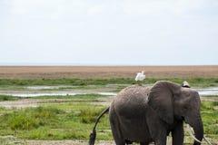 Bird riding elephant Stock Image