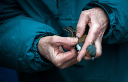 Bird Ring. Male Chaffinch having Plumage checked for aging Stock Photography