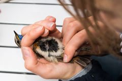 Bird ringing stock photo