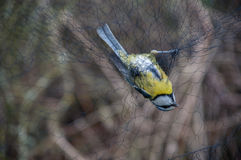 Bird Ringing Royalty Free Stock Images