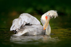 Bird in river. White Pelican, Pelecanus erythrorhynchos, bird in the dark water, nature habitat, Romania. Wildlife scene from Euro Royalty Free Stock Photos
