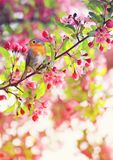 Bird Robin sitting on a branch of a flowering pink Apple tree in royalty free stock image