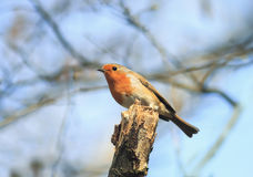 Bird is a Robin sitting on a branch in spring Park Royalty Free Stock Photos