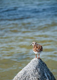 Bird on a Rock Stock Photography