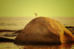 Bird on rock over scenic sunset background Royalty Free Stock Image