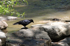 Bird on the Rocks. A bird sits on a rock on the edge of the river Royalty Free Stock Images