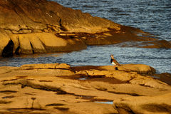 Bird on rocks. With water Royalty Free Stock Image