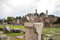 Bird in Roma ancient Italy. Roma italy white bird tourism royalty free stock image