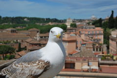 Bird in Roma. Close to the vatican Royalty Free Stock Photography