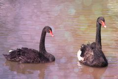 Bird Romantic Black swans on the water. Romantic picture with bokeh effect Stock Photography