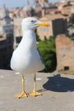 Bird of Rome Royalty Free Stock Image