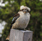 The bird in ron town,australia Stock Image