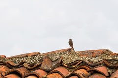 Bird on Roof Royalty Free Stock Image