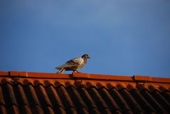 Bird on the roof Royalty Free Stock Images
