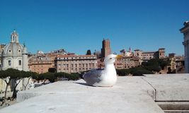 White dove in Roma. A bird on the roof with view in Roma Stock Photos