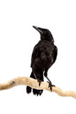 Bird rook Royalty Free Stock Image