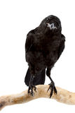 The bird a rook. Sits on a branch on a white background Royalty Free Stock Images