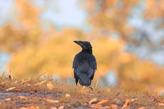 Bird rook Royalty Free Stock Photo