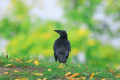 Bird rook Royalty Free Stock Photos