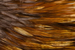 Bird - Rooster Feathers Stock Photography