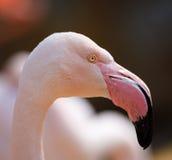 Bird Rose flamingo Phoenicopterus roseus Stock Photos