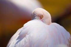 Bird Rose flamingo Phoenicopterus roseus Stock Image