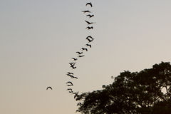 Bird in a row flying in a clear sky, Lake Maracaibo, Venezuela. Birds flying in formation against a clear sky. Lake Maracaibo. Venezuela Royalty Free Stock Image