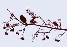 Bird on a rowan branch Royalty Free Stock Image