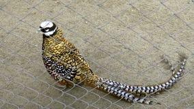 Bird, royal pheasant stock video footage