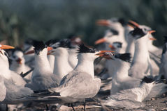 Bird-Royal tern. Royal tern retuning to colony to feed chick Stock Image