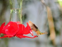 Bird, ruby-throated hummingbird Royalty Free Stock Photo