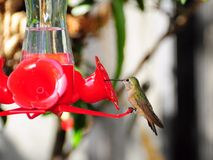 Bird, Ruby-throated Hummingbird Stock Image
