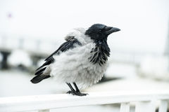 Bird with ruffled feathers Stock Photos
