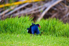 Bird Ruffling Feathers. A bird ruffling its feathers in the park Royalty Free Stock Images