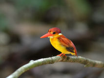 Bird (Rufous-backed Kingfisher) , Thailand Royalty Free Stock Photos
