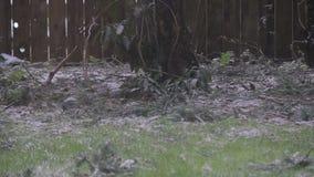 Bird rummaging in snow. Bird rummaging in light snow stock video footage