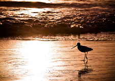 Bird Running at Sunset. Silhouette of Sandpiper running along a California beach during sunset Stock Photography
