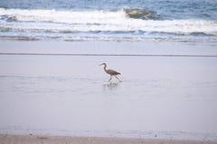 A Bird Running in Water - Western Reef Heron - Egret - Egretta Gularis Schistacea Stock Photos