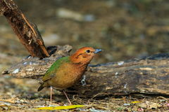 Bird,Rusty-naped Pitta. Doi Ang Khang, Chiang Mai, Thailand Royalty Free Stock Image