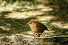 Bird,Rusty-naped Pitta Royalty Free Stock Image