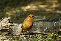 Bird,Rusty-naped Pitta Stock Photography