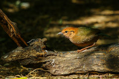 Bird,Rusty-naped Pitta. Doi Ang Khang, Chiang Mai, Thailand Royalty Free Stock Photo