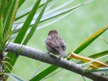 Bird`s back. Sparrow`s back Royalty Free Stock Photo