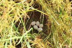 Bird`s eggs royalty free stock images