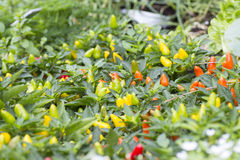 Bird's eye chili grow in the garden. It suitable for those who is like a hot dishes Royalty Free Stock Photo