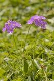Bird's-eye Primrose - Primula farinosa Stock Photos