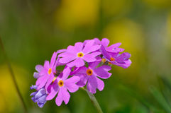 Bird's eye primrose (Primula farinosa). Bunch of bird's eye primrose (Primula farinosa) with yellow OOF flowers on background Royalty Free Stock Images