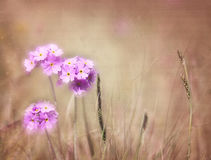 Bird's-eye primrose, romantic background, texture. Royalty Free Stock Photo